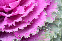 Pink Ornamental Kale