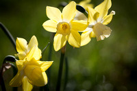 'Pipit' Narcissus