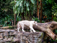 Sumatran White Tiger at Singapore Zoo