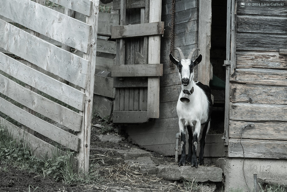 Goat by Shed Door