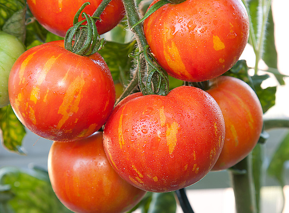 Bunch of Tomatoes on Vine